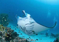 manta at cleaning station, Raja Ampat by Geoff Spiby 